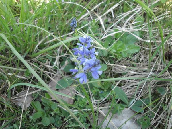 orchidee bleue sauvage