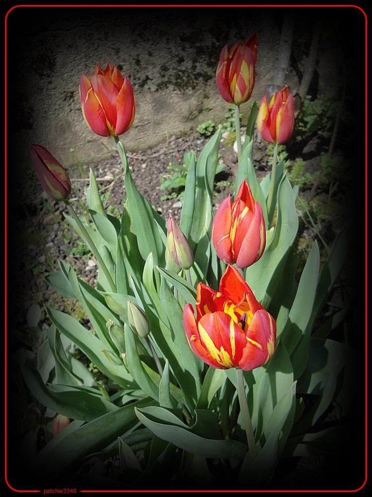 Muscari a toupet fleurs bourrachemes jacinthe des bois et autres - Fleur commencant par t ...